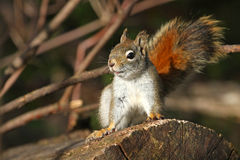 Red Squirrel. In Alert Mode In Morning Sun Stock Image
