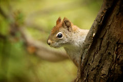 Red Squirrel. Squirrel looks out next to a tree Royalty Free Stock Images