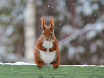 Red Squirrel. Sitting on fence while it is snowing stock image