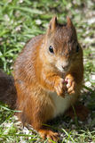 Red squirrel. Feeding on seeds stock image