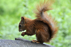 Red Squirrel. Side portrait of red squirrel with green nature background Stock Image
