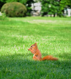 Red squirrel. In the park stock images