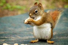 Free Red Squirrel Royalty Free Stock Images - 15773349
