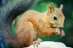 Red squirrel. Eating whilst perched Royalty Free Stock Images