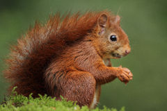 Red squirrel. Eating a nut Stock Photo