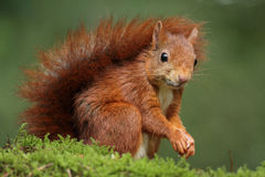 Red squirrel. On a piece of moss Stock Image