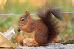 Red squirrel. The red squirrel eating the nuts from the small paper bag royalty free stock images