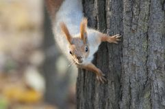 Red Squirrel. On a tree. Nature background stock images