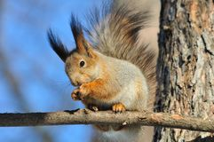 Red squirrel. Royalty Free Stock Photos