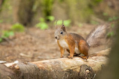 Red squirrel Royalty Free Stock Photos