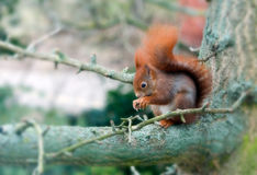 Red squirrel. Eating on a tree Stock Image