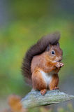 Red Squirrel Royalty Free Stock Image
