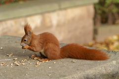 Red Squirrel. Eating nuts in the park Stock Photo