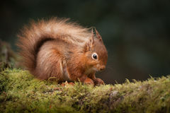 Red Squirrel. Royalty Free Stock Images