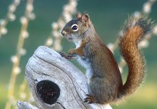 Red Squirrel Stock Photography