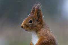Red squirrel. European red squirrel in snow Stock Photography