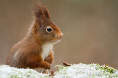 Red squirrel close-up. Red squirrel in the snow in the netherlands Royalty Free Stock Photo