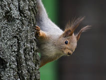 Red Squirrel. In Hungary, Budapest Stock Photo