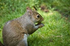 Red Squirrel. A red squirrel eating nuts stock photos