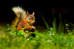 Free Red Squirrel Royalty Free Stock Image - 64662626