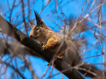 Red squirrel. Sitting in tree Royalty Free Stock Image