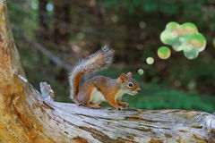 Red Squirrel with Abstract Thought Bubble Royalty Free Stock Photo
