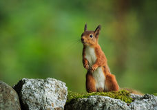 Red Squirrel. On alert while searching for food royalty free stock image