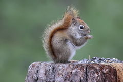 A Red Squirrel Stock Photo