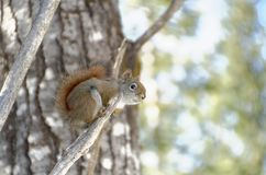 Red Squirrel in a tree royalty free stock images
