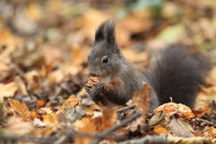Red squirrel. In autumn forest royalty free stock image