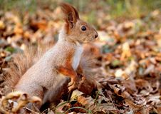 Red squirrel in the autumn forest stock photo