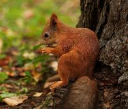 Red squirrel in autumn forest Royalty Free Stock Photos