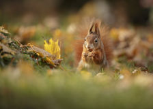 Red squirrel in autumn Royalty Free Stock Image