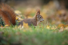 Red squirrel in autumn Stock Photo