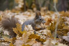 Red squirrel in autumn leaves with a nut. Photo was taken in the Czech Republic stock photo