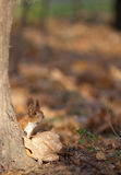 Red squirrel in autumn park Stock Image