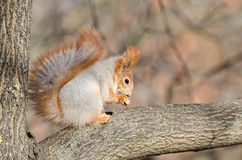 Red squirrel. In autumn park, shallow depth of field Stock Photos