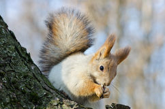 Red squirrel. In autumn park, shallow depth of field Stock Image