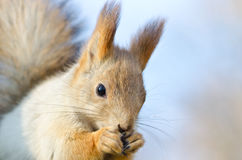 Red squirrel. In autumn park, shallow depth of field Royalty Free Stock Photos