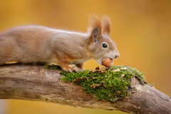Red squirrel in autumn Royalty Free Stock Photo
