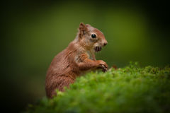 Red Squirrel Baby. Stock Photography