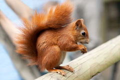 Red squirrel on beam. Red squirrel eating a nut on a beam Royalty Free Stock Images