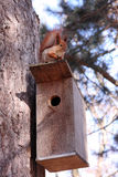 Red squirrel. Beautiful red squirrel on the roof birdhouse Stock Image