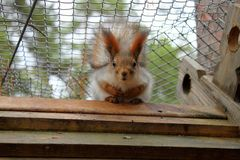 Red squirrel with big eyes stock photo