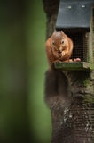 Red Squirrel on a Bird Feeder Royalty Free Stock Photography