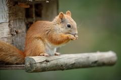 Red squirrel on a bird table. A cheeky red squirrel steals food from a bird table stock image