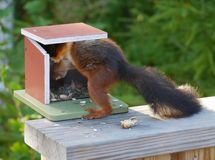 A red squirrel with a black tail Royalty Free Stock Photos