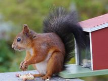 A red squirrel with a black tail Royalty Free Stock Photo