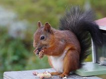 A red squirrel with a black tail Stock Photos