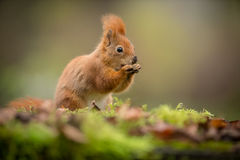 Red squirrel with blurred surroundings Stock Photos
